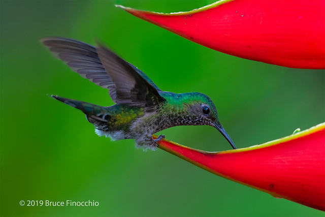 A Female White-necked Jacobin Feeds On Nectar And Water Collected In A Heliconias Blossom