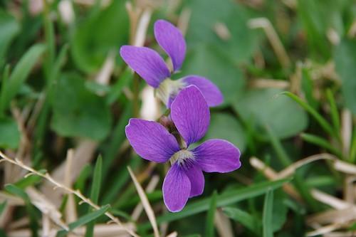 Violets | by RWKLOSE1