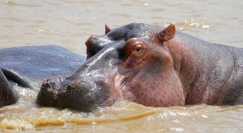 Hippo (Hippopotamus amphibius) resting on the shores of Lake St Lucia ...   by berniedup