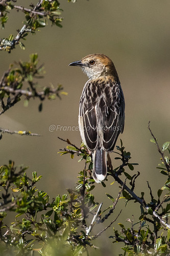 138cisticolasandallies birds riftvalley kenya africa stoutcisticola