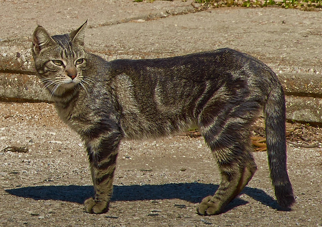 jlvill  176  Gato callejero
