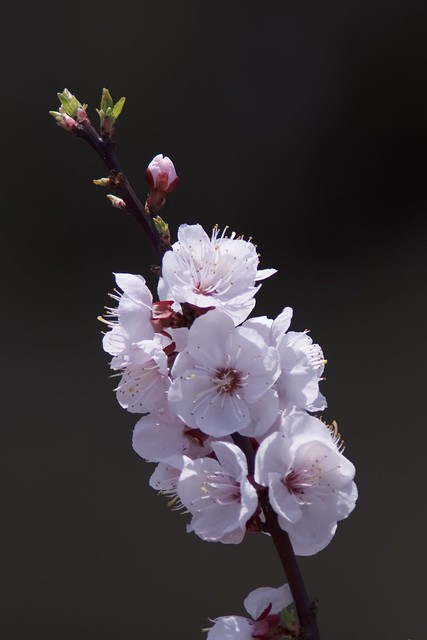杏の花 (apricot flowers)