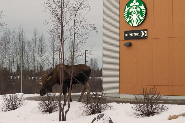 33/365 Drive-Thru Moose