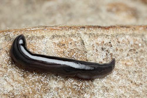 Terrestrial flatworm #2   by Lord V