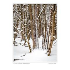 Cedar Forest, Winter