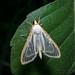 Four-spotted Palpita Moth by jciv