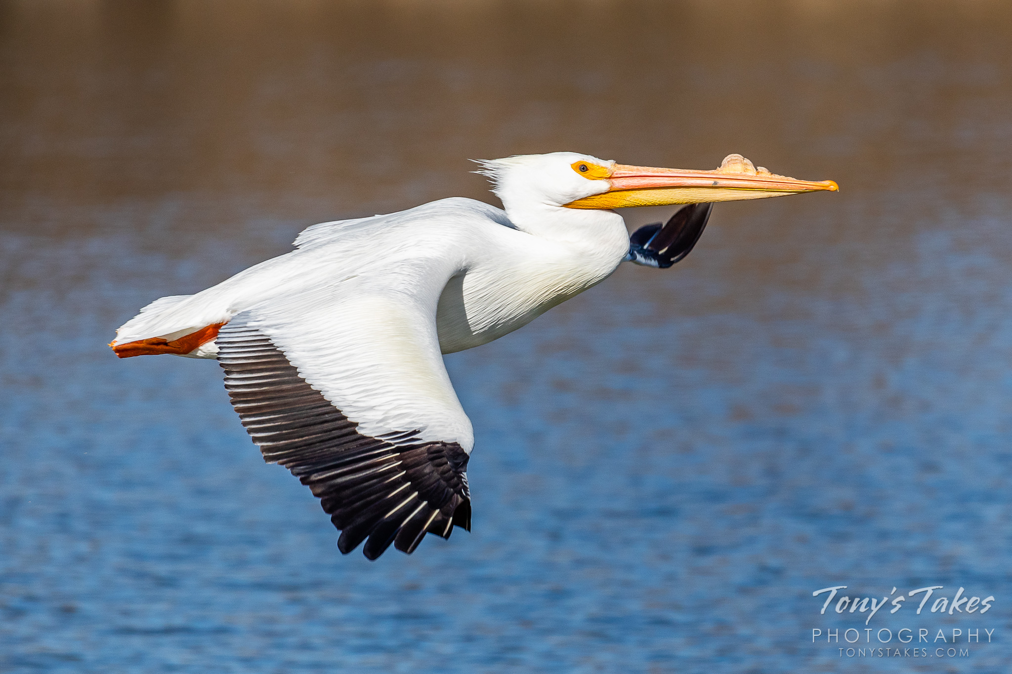 An American white pelican arrives on the plains of Colorado after a winter spent further south. (© Tony's Takes)