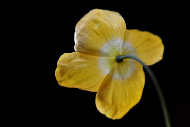 Backview of a Yellow Poppy