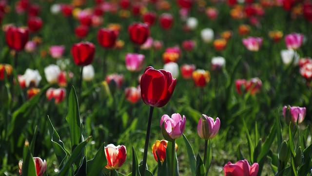 Flowers field - Milano