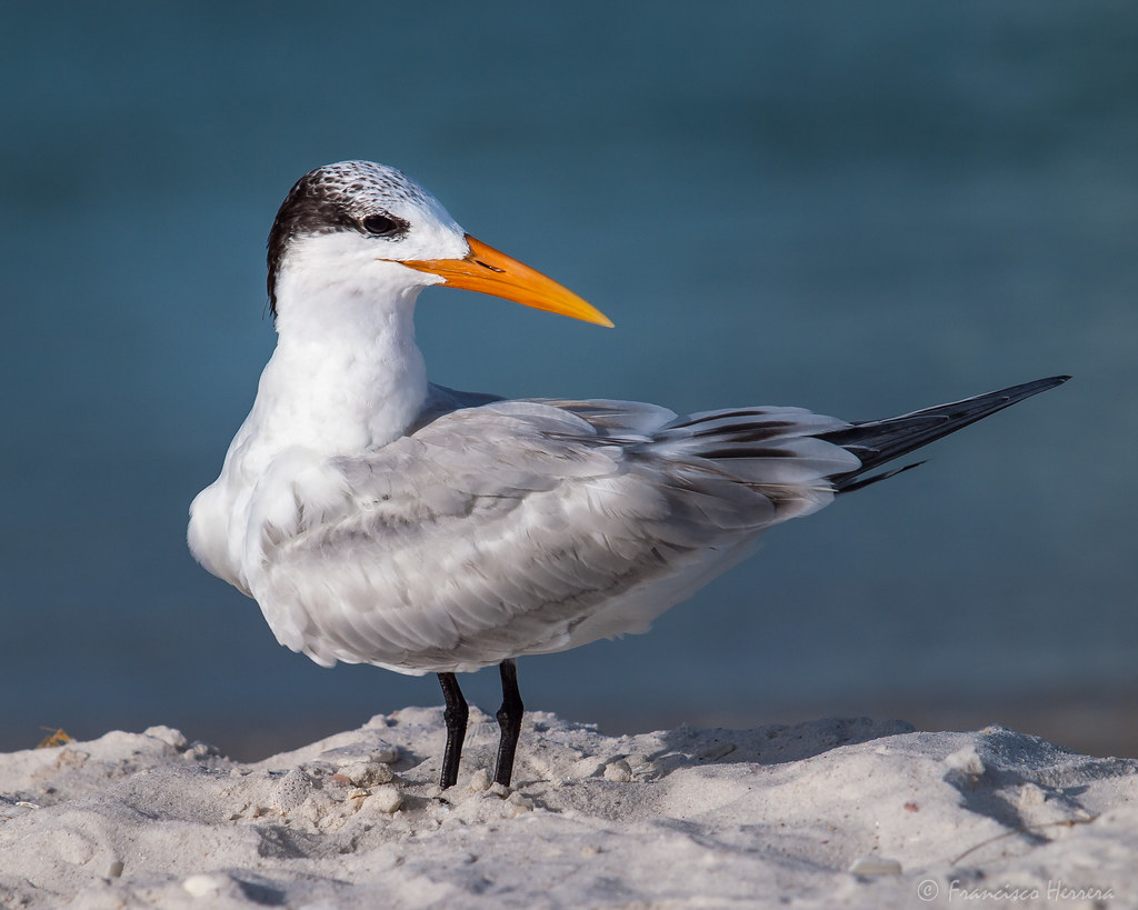 Royal Tern / Tirra canalera
