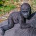 <p><a href=&quot;http://www.flickr.com/people/jl7561/&quot;>jl7561</a> posted a photo:</p>&#xA;&#xA;<p><a href=&quot;http://www.flickr.com/photos/jl7561/46383335455/&quot; title=&quot;Baby Gorilla taking a ride&quot;><img src=&quot;https://live.staticflickr.com/7858/46383335455_9017802b82_m.jpg&quot; width=&quot;240&quot; height=&quot;192&quot; alt=&quot;Baby Gorilla taking a ride&quot; /></a></p>&#xA;&#xA;<p>Dallas Zoo</p>