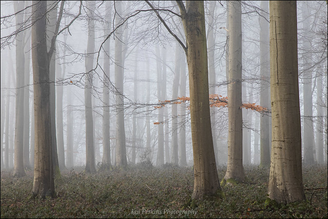 DORSET MISTY WOODLAND