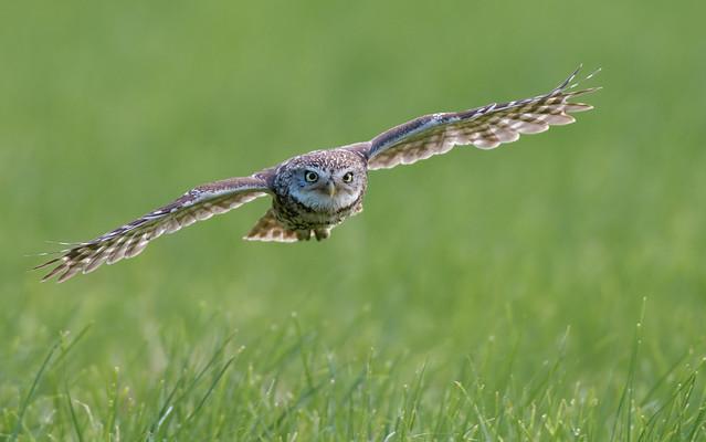 Little Owl , Big eyes