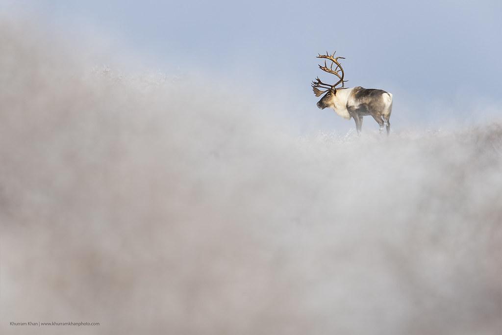 Caribou Minimalism