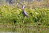 Shoebill waiting for lunch to swim by - (Balaeniceps rex) by TrekLightly