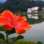 湖之花(橙色)