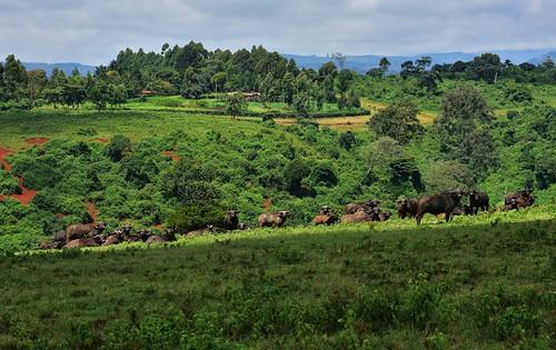 kenya wild africanbuffalo forest landscape mammals aberdarenationalpark