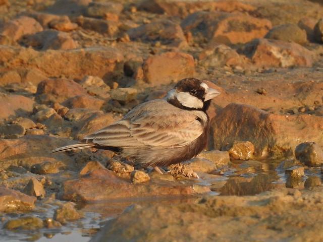 Black Crowned Sparrow Lark in Kirthar National Park, Sindh - December 2018