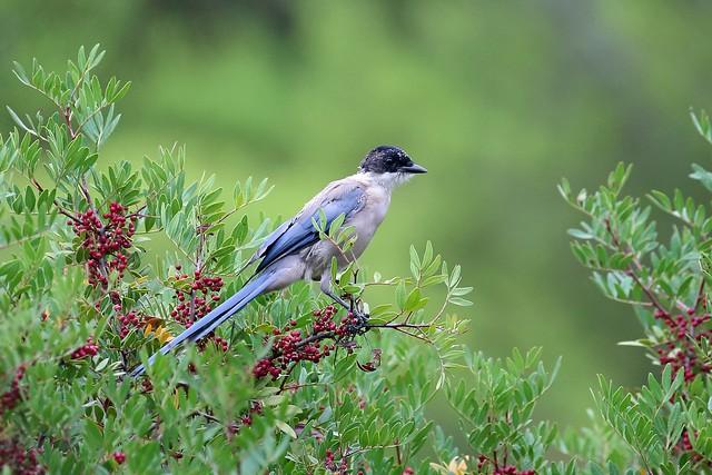 Iberian Magpie, Quinta de Marim, Algarve, Portugal