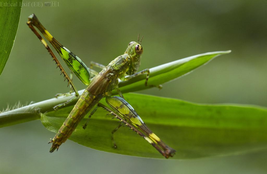 Monkey hopper (Eumastacidae)