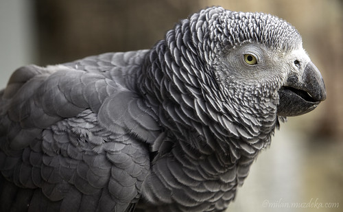 Grey parrot | by Milan Muždeka