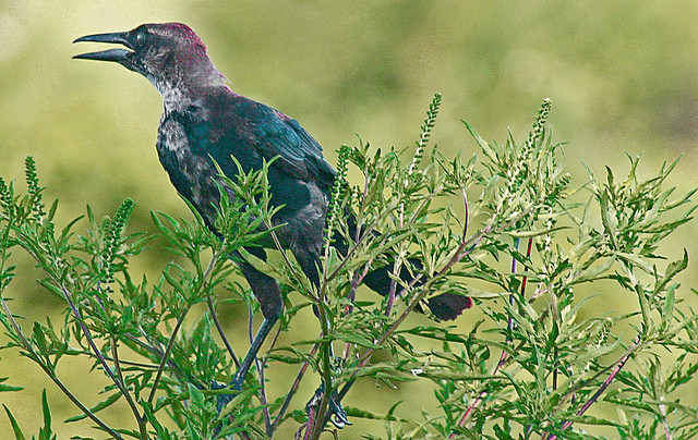 Boat-tailed grackle, Lakefront Park, Kissimmee, Florida (1 of 2)