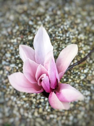 Magnolia   by gwendolen