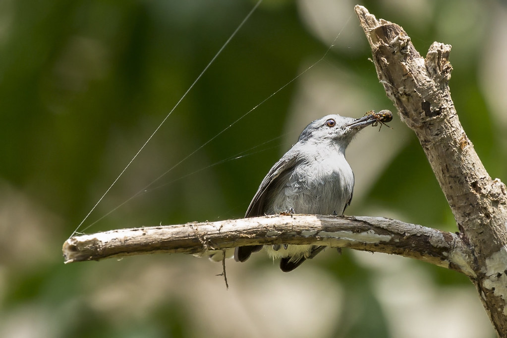 Tropical Gnatcatcher (Polioptila plumbea) 8 032019