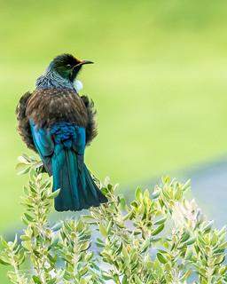 Tui - New Zealand | by Daniel Poon 2012