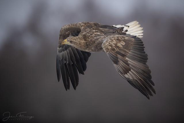 White-tailed Eagle (Adult) - Poland