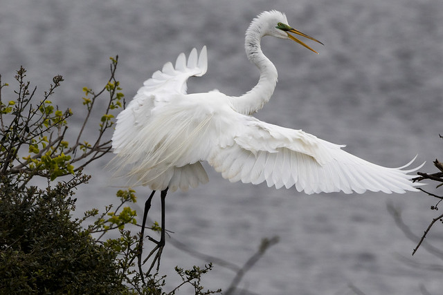 Great Egret take off - OY5A9507