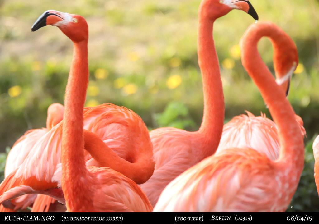 Kuba-Flamingo