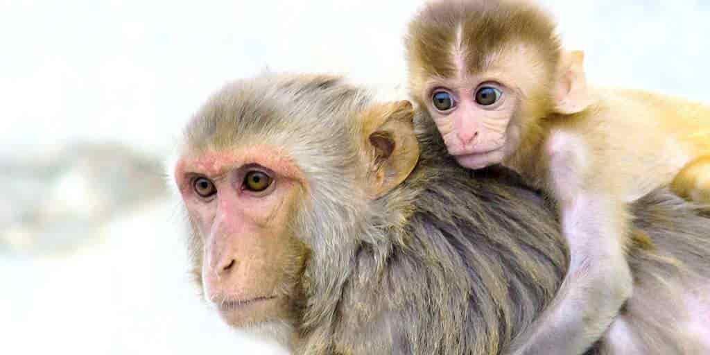 singes-génétiquement-modifiés-pour-imiter-développement-cerveau-humain