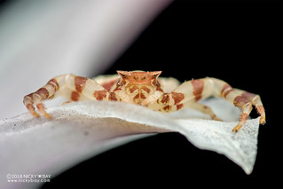 Orchid crab spider (Thomisus sp.) - DSC_0216