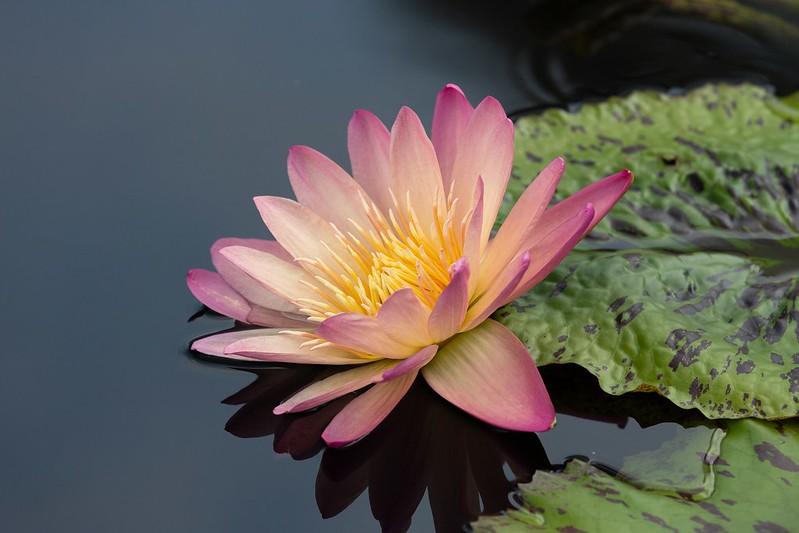 Обои цветок, листья, макро, озеро, пруд, отражение, фон, розовая, лилия, лепестки, водяная, нимфея, лососевая, водяная лилия картинки на рабочий стол, раздел цветы - скачать
