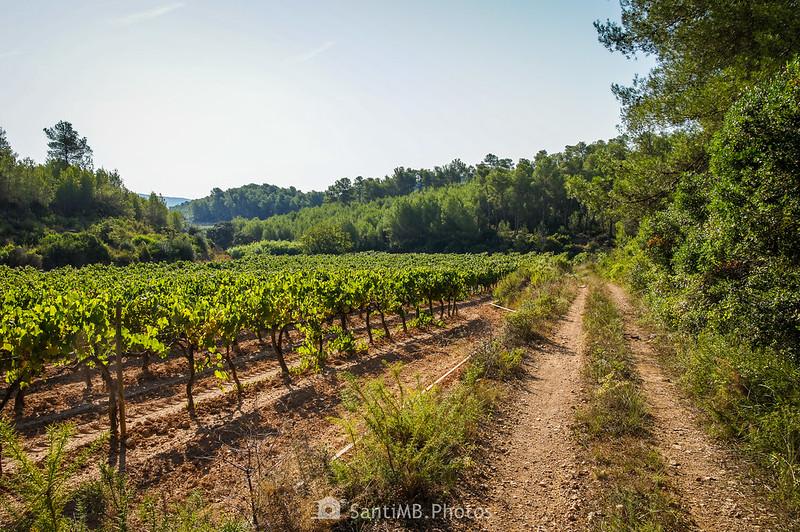 Viñedo de la Roqueta en Olivella