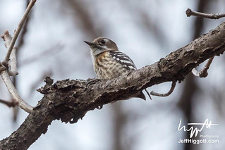 Japanese Pygmy Woodpecker | by Jeff Higgott (Sequella.co.uk)