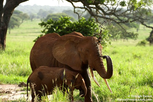 Elephant giving herself a mud splash | by Trileigh