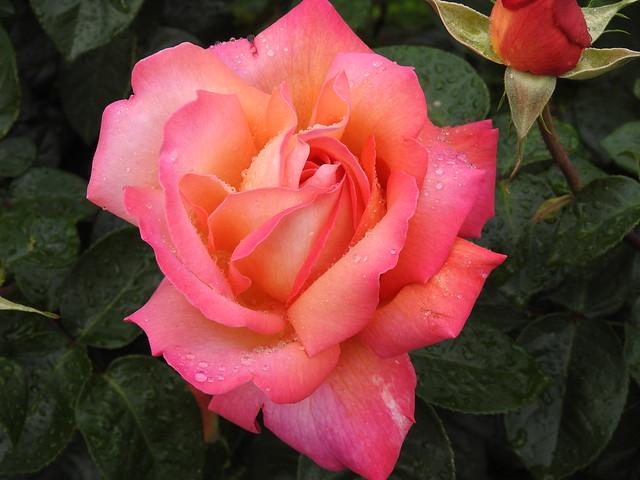 Spring Flowering Rose