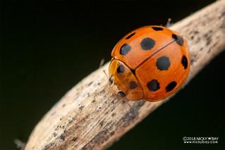 Ladybird (Coelophora cf. inaequalis) - DSC_3626