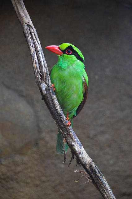Javan Green Magpie (Cissa thalassina)