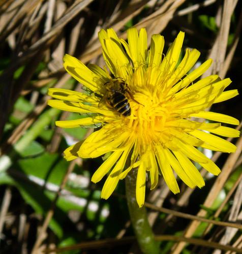 Dandelion with tiny bee