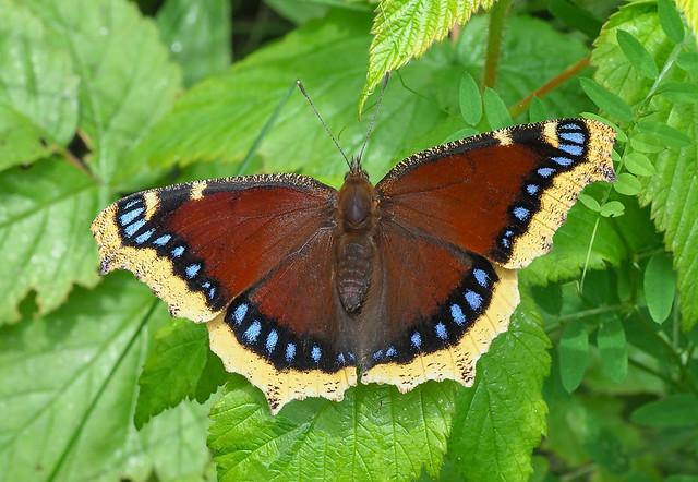 Mourning Cloak - Nymphalis antiopa (Nymphalidae, Nymphalinae, Nymphalini) 118z-7055726