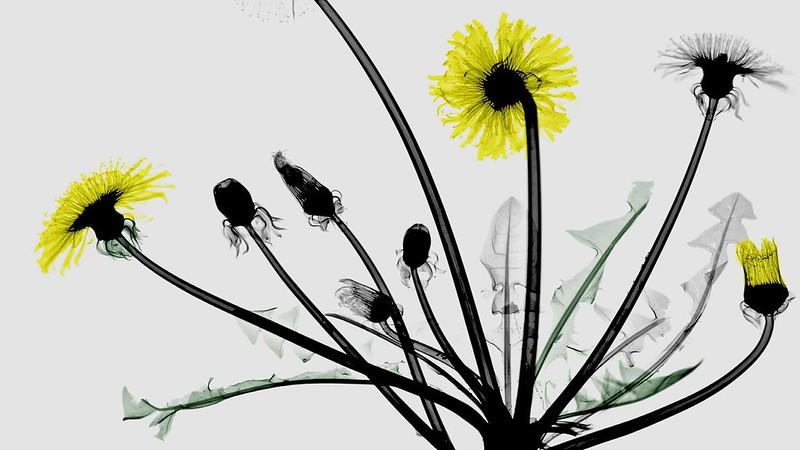 Обои листья, макро, одуванчик, лепестки, стебель, цветной рентгеновский снимок картинки на рабочий стол, раздел цветы - скачать