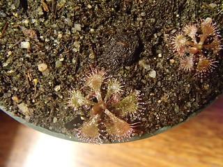 D. brevifolia Hardin Co. TX   by hawken.carlton