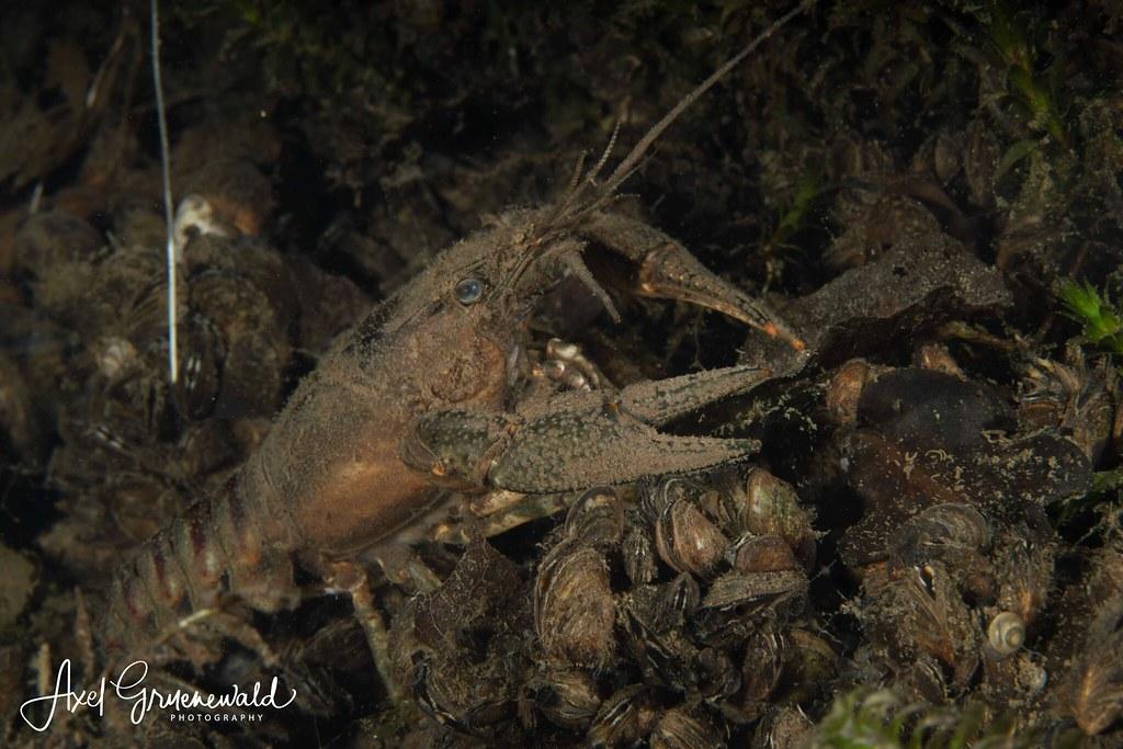 Kamberkrebs Orconectes limosus