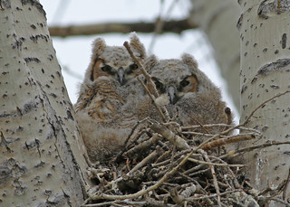 Great Horned Owlets...#23