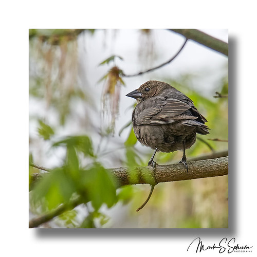 buschgreenway stcharlescounty weldonspring missouri nikon d850 600mmnikkor brownheadedcowbird