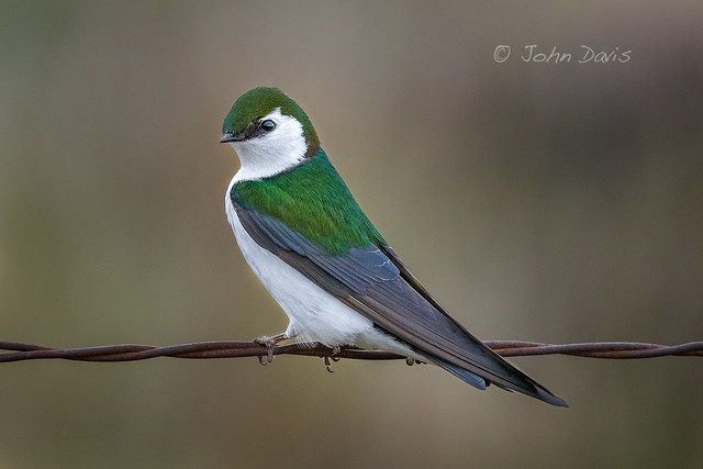 Violet-green Swallow 20180316_2907