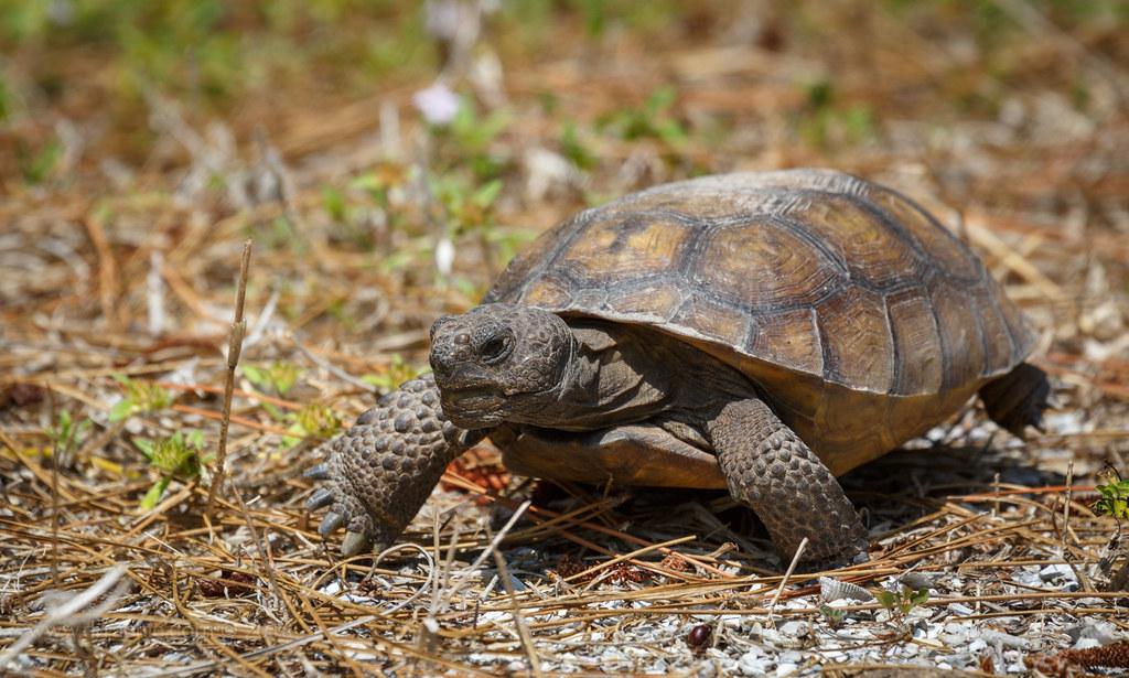 gopher tortoise, Lemon Bay Park, Englewood, FL  | Rachael